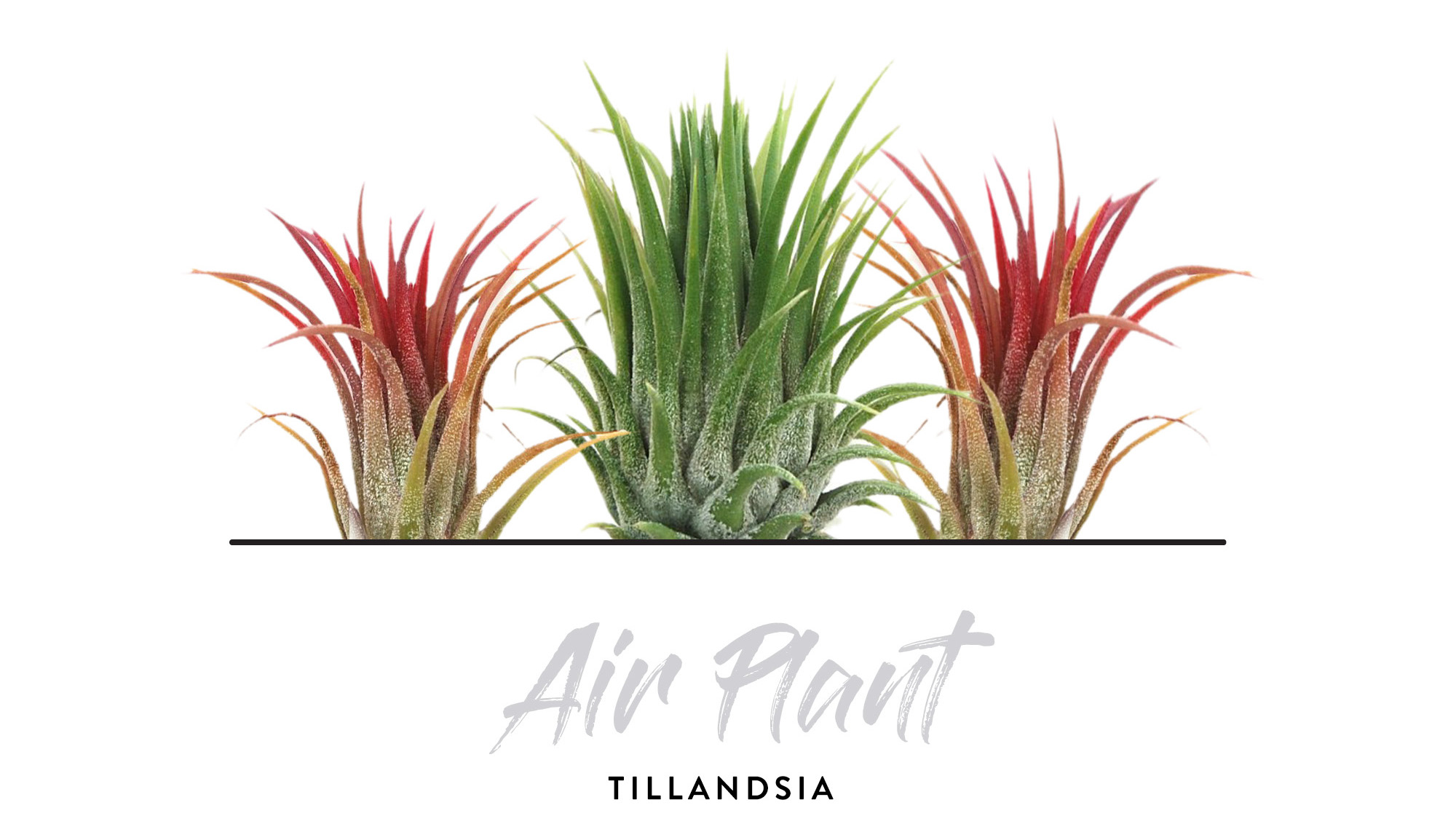 Indoor Plants - Air Plants