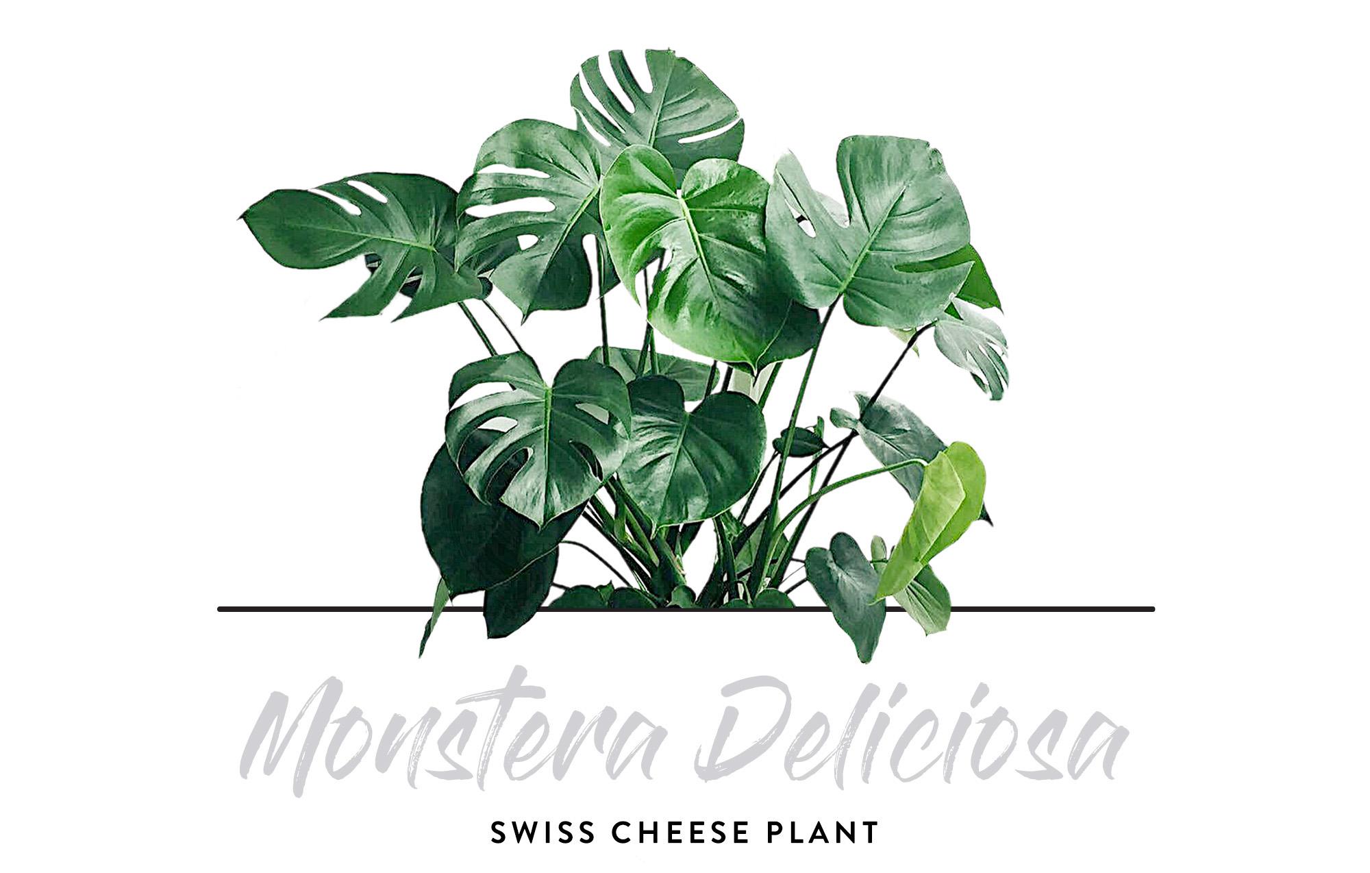 Indoor Plants - Monstera Deliciosa
