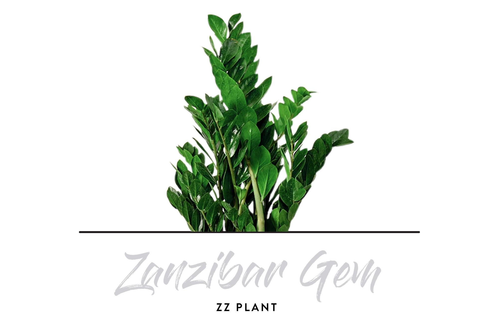 Indoor Plants - ZZ Plant