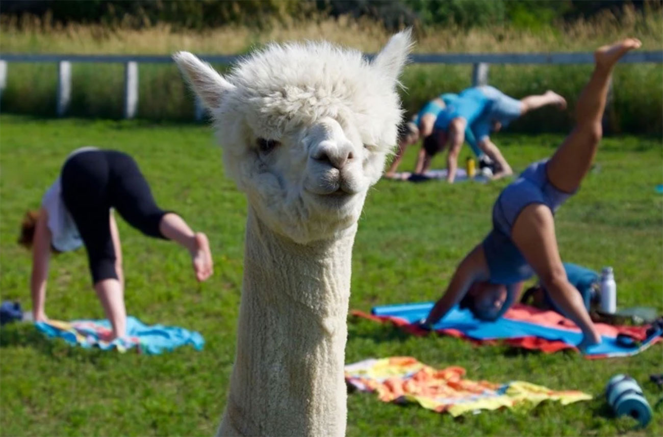 things to do in Prince Edward County - Alpaca yoga